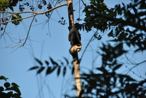 Lots of these little monkeys swinging in the trees watching us zip-line.