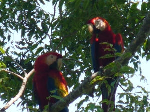 Crazy Scarlet Macaws